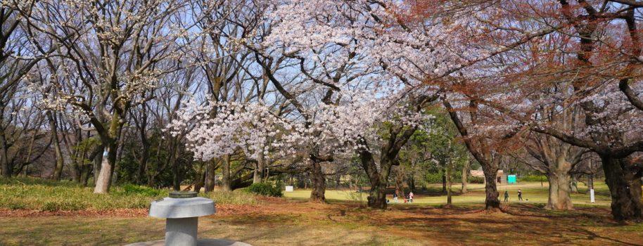 Cherry blossoms in Kinuta Park 砧公園のさくらの開花